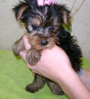 lovely yorkshire terrier for a new home