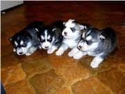 siberianhusky puppiesfor good homes