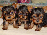 xmas yorkie puppies for free adoption