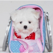 well trained maltese puppy for adoption