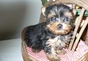 Quality Teacup Yorkshire Terrier Puppies