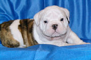 english bull dog for  sale