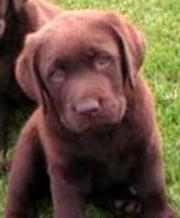 pure breed chocolate pups ready to go micro,  vac,  wormed i.k.c reg