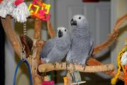 Hyacinth Macaws And African Greys For Sale